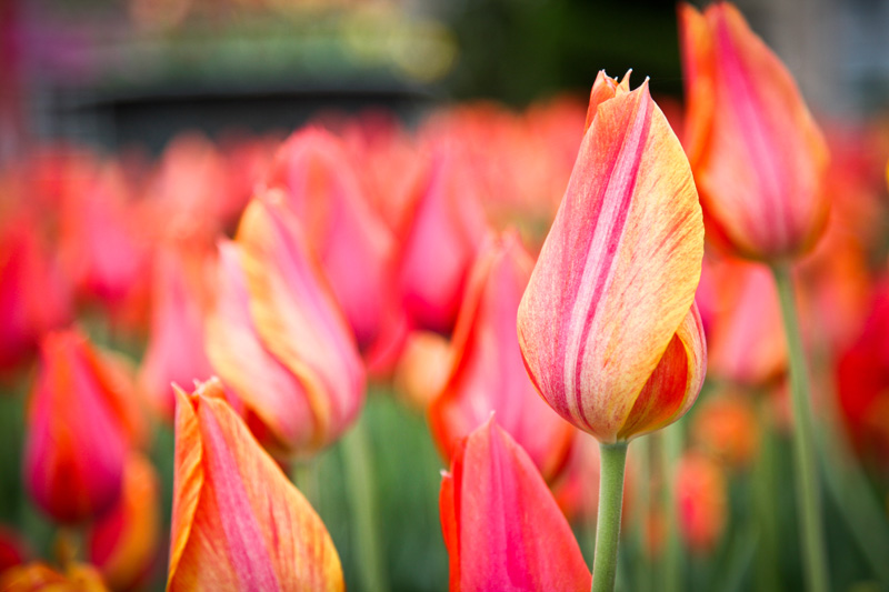 Nature Photography and Details Photography, close up of tulip field